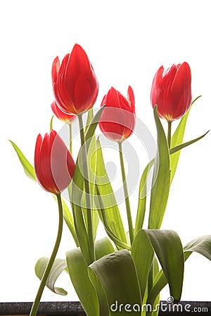 Free Spring Tulip Stock Image - 4619001