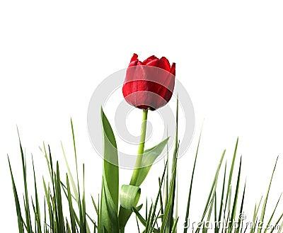 Spring-tulip