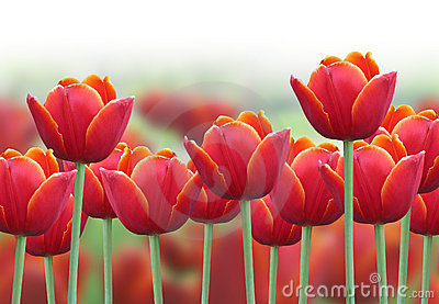 Spring Tulip Flower Background