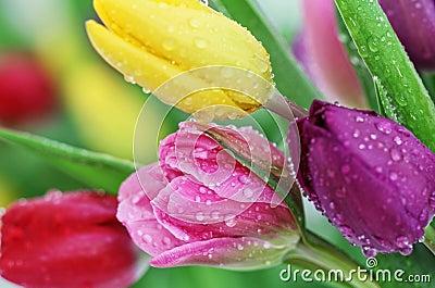Spring tulip flowers close-up