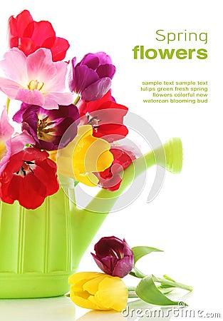 Spring tulip flowers in watering can