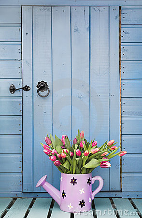 Spring tulips and garden shed