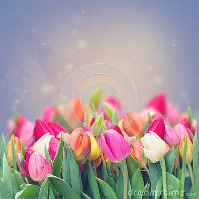 Free Spring Tulips In Garden Royalty Free Stock Photo - 36182965