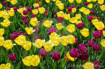 Spring tulips on opening