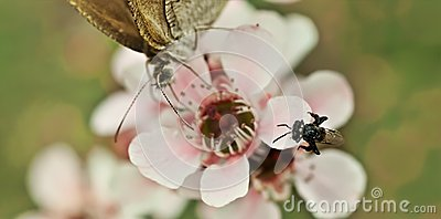 Spring very tiny Australian native stingless bee