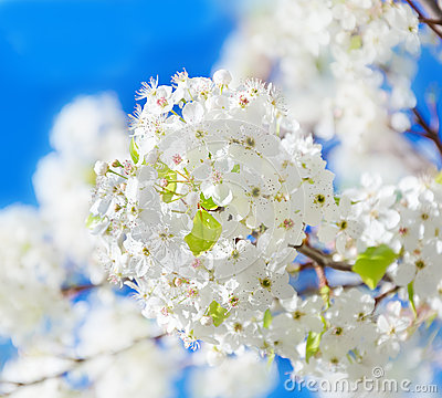 Spring white cherry flowers