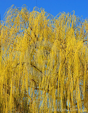 Spring Willow Tree Leaves
