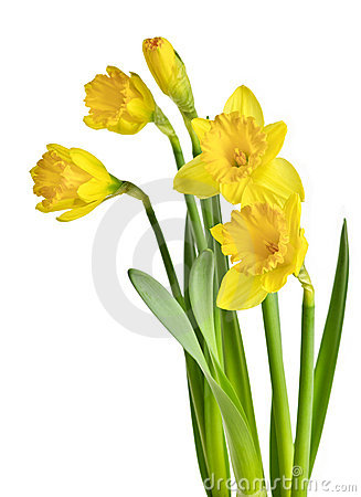 Free Spring Yellow Daffodils Stock Photo - 14703350