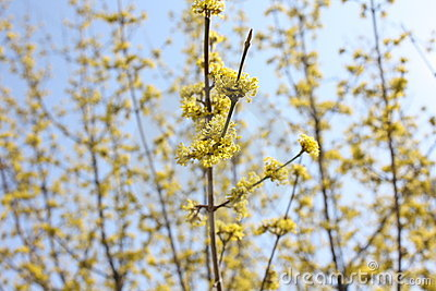Spring yellow flower tree background
