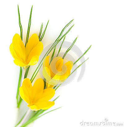 Spring Yellow Flowers  / Crocuses