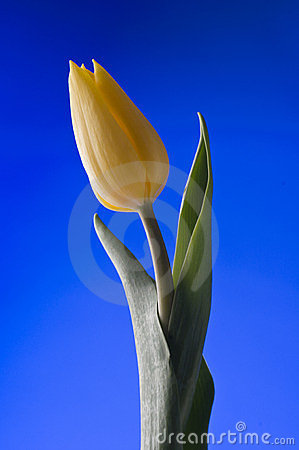 Spring  yellow tulip  blossom on blue background