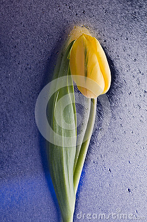 Spring  yellow tulip  blossom on wet blue background