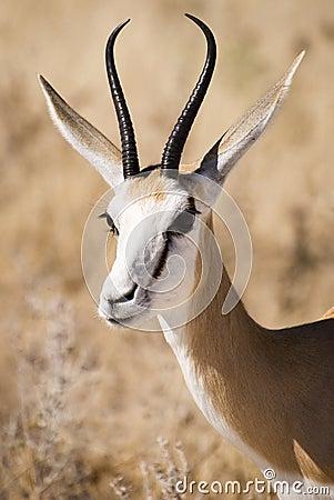 Free Springbok Stock Photo - 15022690