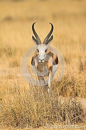 Free Springbok Stock Photography - 17927372
