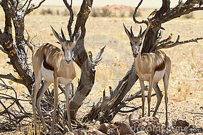 Springbok couple