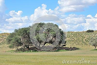 Springbok hiding for the sun