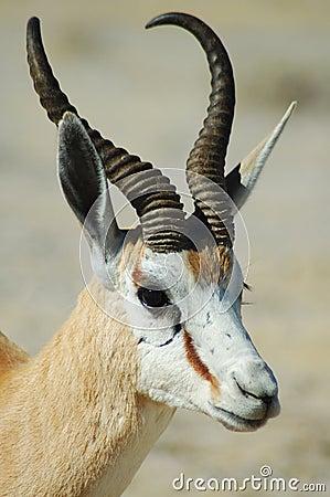 Free Springbok In Etosha Royalty Free Stock Photography - 238037