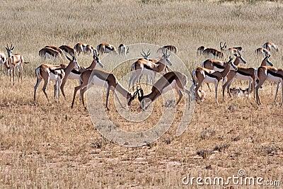 Springbok in Kalahari
