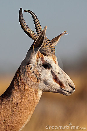 Springbok male close-up