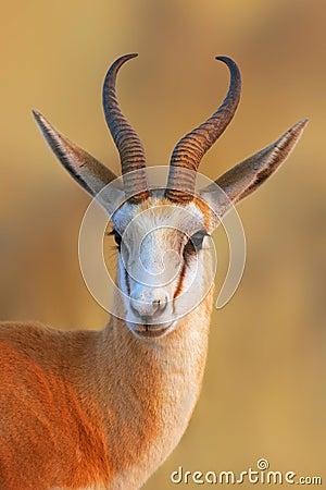 Free Springbok Portrait Stock Image - 14907781
