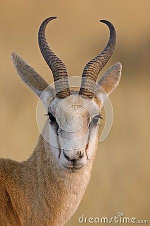 Free Springbok Portrait Royalty Free Stock Photos - 20245078