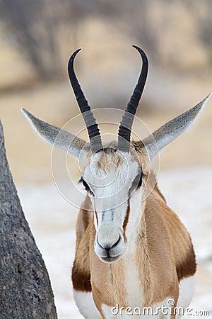 Free Springbok, Portrait Stock Photography - 59688572
