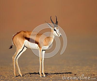 Springbok on sandy desert plains