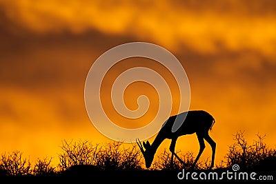 Springbok silhouette, Kalahari