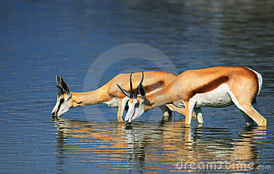Springbok in water