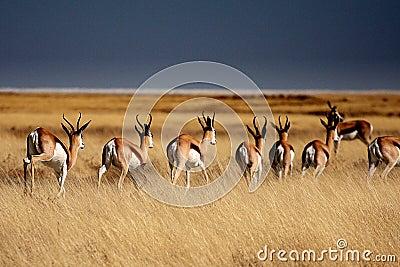 Springboks in Etosha Park