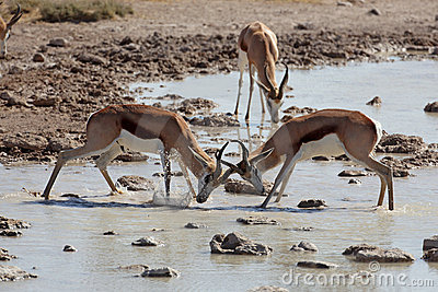 Springboks Fighting In Waterhole Royalty Free Stock Images - Image: 12061679