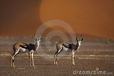 Springboks in front of red desert dunes