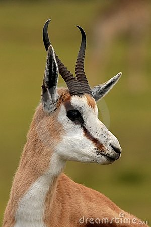 Springbuck Antelope Portrait