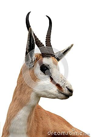 Free Springbuck Antelope Portrait Stock Images - 13741454