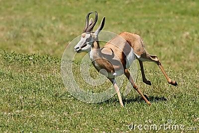 Springbuck Antelope Running
