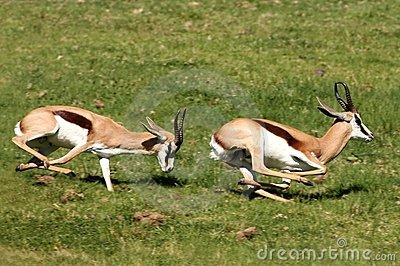 Springbuck Male Aggression