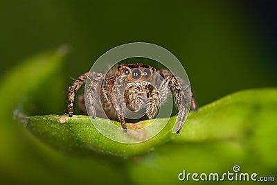 Springende Spinne