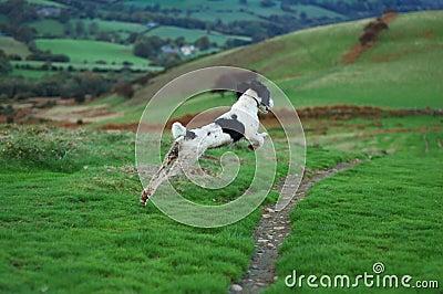 Springer Spaniel in Full Flight