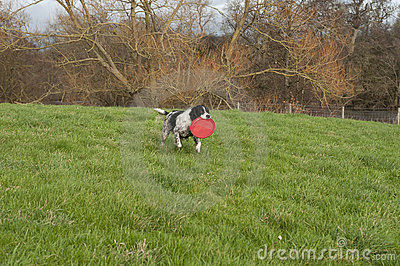 Springer Spaniel With Toy
