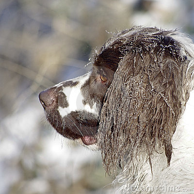 Springer Spaniel Winter Snow