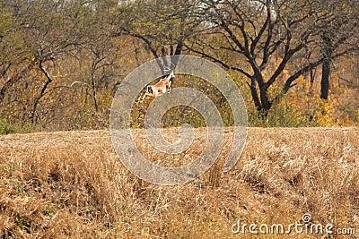 Springing Impala