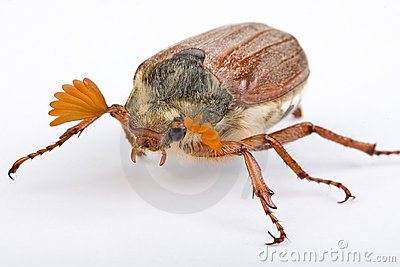 Springtime beetle