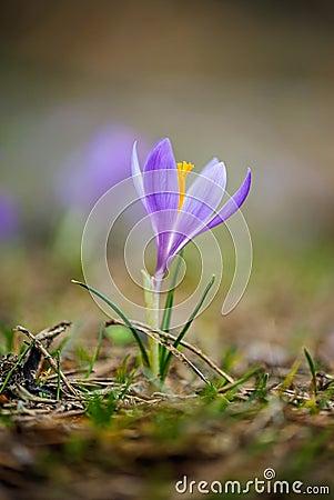 Free Springtime Crocus Stock Photos - 54292263