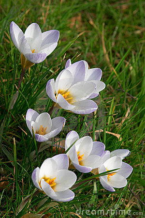 Free Springtime Crocus Flowers Royalty Free Stock Photos - 1448528