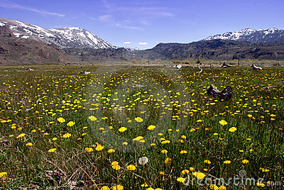 Springtime Dandelions In The Mountains