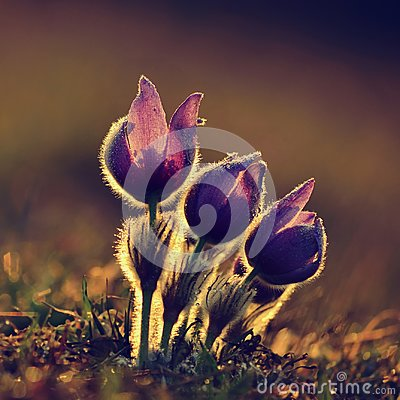 Free Springtime Flower. Beautiful Purple Little Furry Pasque-flower. Pulsatilla Grandis Blooming On Spring Meadow At The Sunset. Stock Image - 111238481