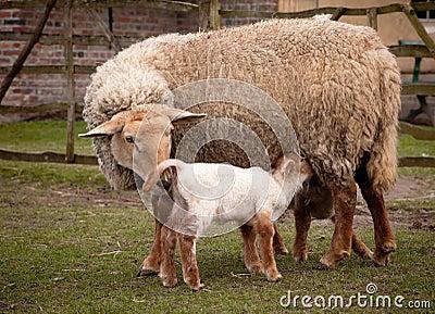 Springtime lambs