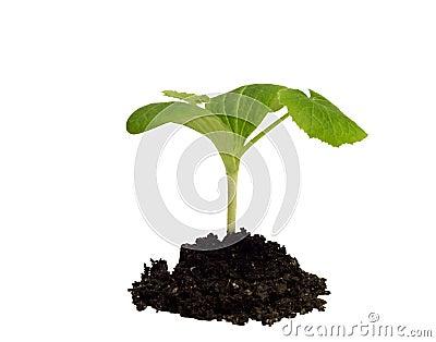 Squash seedling in dirt on white