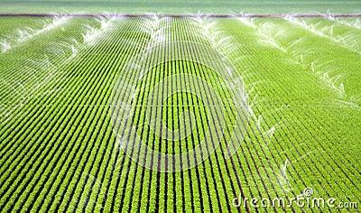 Sprinklers irrigating a Farm Field