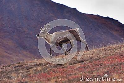 Sprinting Caribou